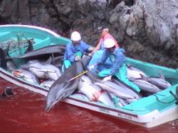 La pêche aux dauphins épinglée par un documentaire choc